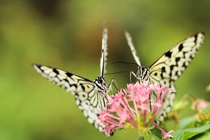 Zwei Schmetterlinge auf rosa Blüte, DAO-Zentrum Retreat